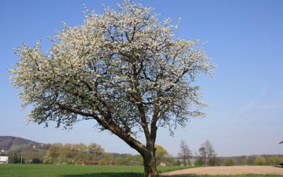 Ausblick auf die Kirschenblüte