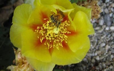 Hummel in der Kaktusblüte