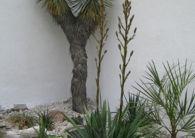 Mediterran: Yuccas