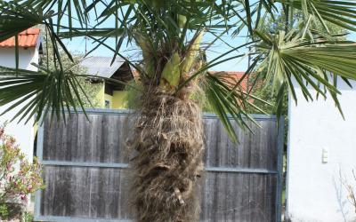Palme im Garten