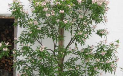 Blühender Baum-Oleander