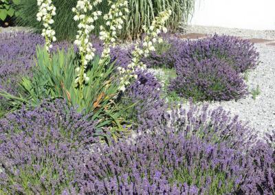 Mediterran: Lavendel und Yucca